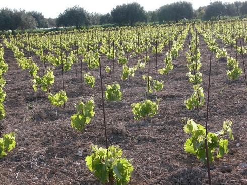 Bush vines, grapevines, no trellis, Sicilia