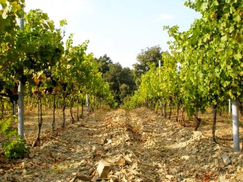 Bolgheri, Piastraia vineyard, Trellised vines, Italy, Tuscany, vineyard