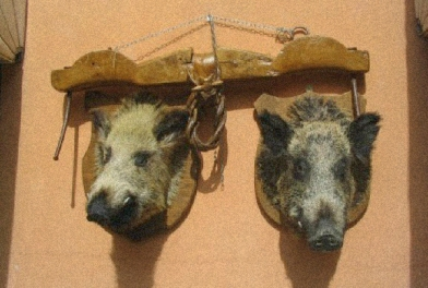Wild boar, hunting, heads, hanging