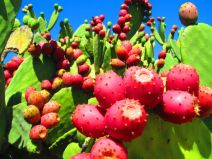 urban fruit gleaning, prickly pears, pink