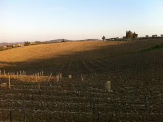 Vineyard at Castello di Ama
